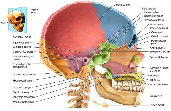 medial_skull1316634663719