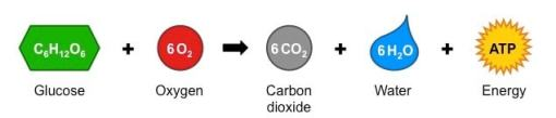 cellular respiration equation