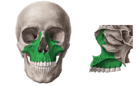 figure 1 frontal and medial view of the maxilla notice how many facial traits are affected by its development nose eyes cheekbones occlusion